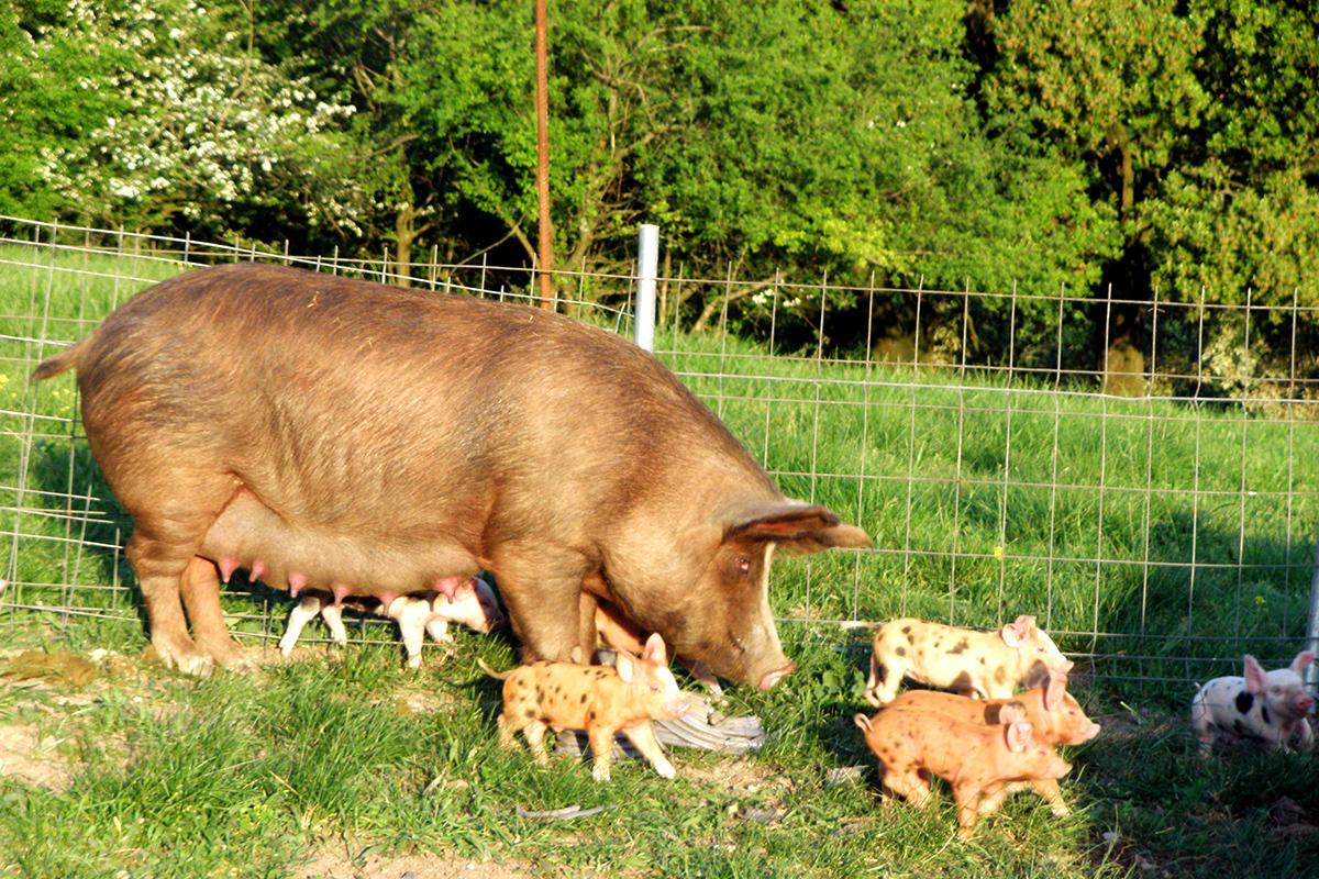 cerdo-ezkurtxerri-3