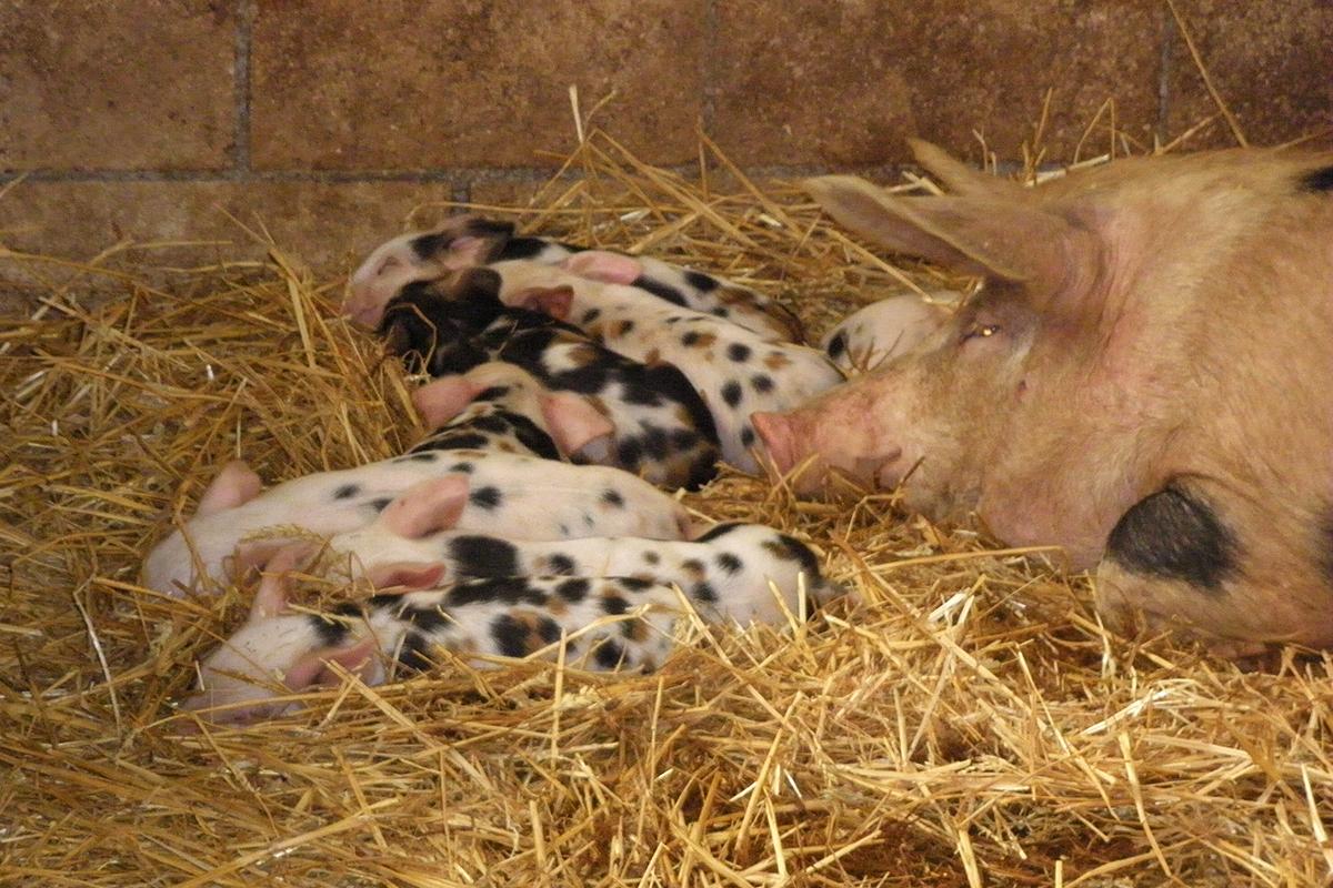 cerdo-ezkurtxerri-4
