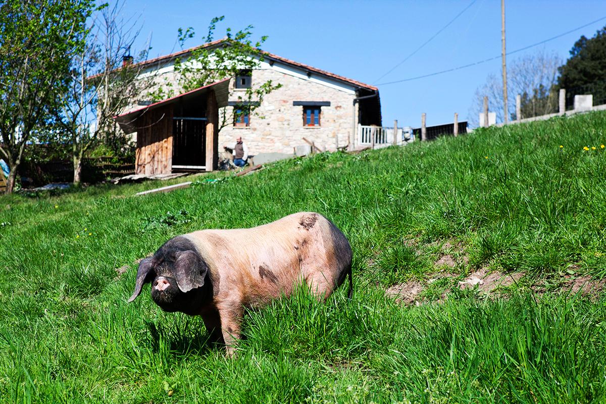cerdo-ezkurtxerri