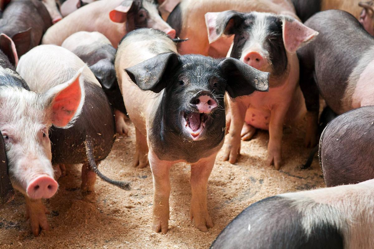 cerdo-ezkurtxerri-2
